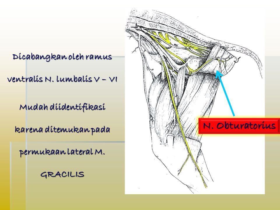 N.Obturatorius N. Obturatorius Dicabangkan oleh ramus ventralis N.