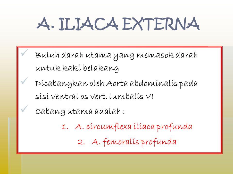 A. ILIACA EXTERNA Buluh darah utama yang memasok darah untuk kaki belakang Dicabangkan oleh Aorta abdominalis pada sisi ventral os vert. lumbalis VI C