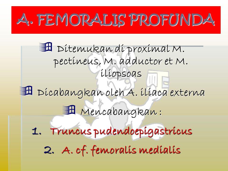  Ditemukan di proximal M.pectineus, M. adductor et M.