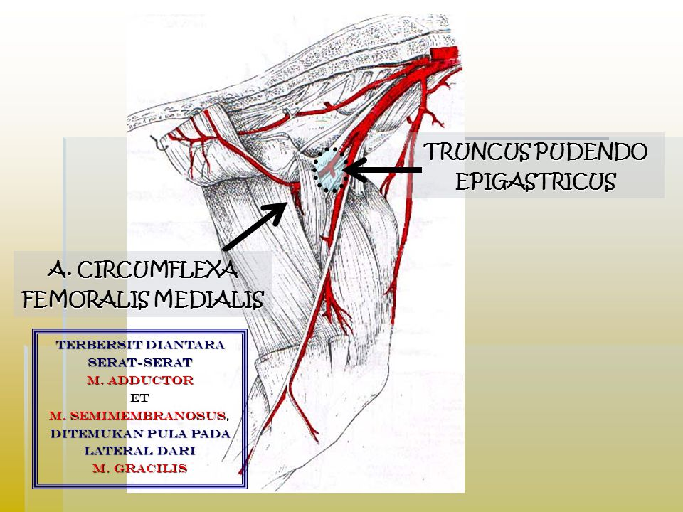 TRUNCUS PUDENDO EPIGASTRICUS A.CIRCUMFLEXA FEMORALIS MEDIALIS terbersit diantara serat-serat M.