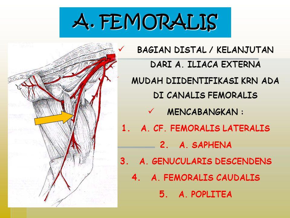 A.FEMORALIS BAGIAN DISTAL / KELANJUTAN DARI A.