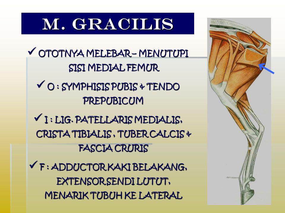 M. GRACILIS OTOTNYA MELEBAR – MENUTUPI SISI MEDIAL FEMUR OTOTNYA MELEBAR – MENUTUPI SISI MEDIAL FEMUR O : SYMPHISIS PUBIS & TENDO PREPUBICUM O : SYMPH