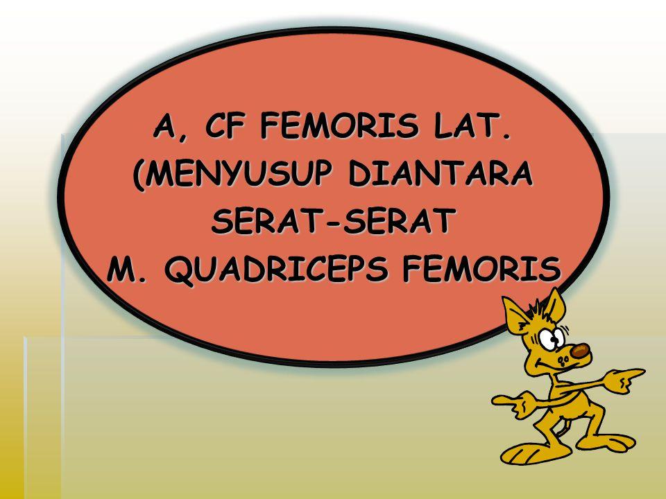 A, CF FEMORIS LAT.(MENYUSUP DIANTARA SERAT-SERAT M.