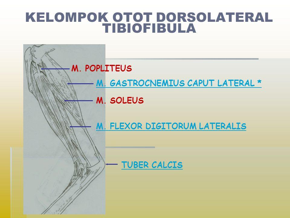 M.POPLITEUS M. GASTROCNEMIUS CAPUT LATERAL * M. SOLEUS M.