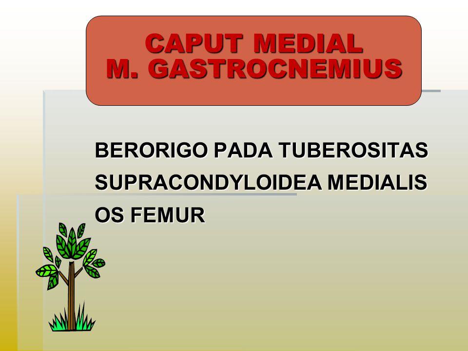 CAPUT MEDIAL M. GASTROCNEMIUS BERORIGO PADA TUBEROSITAS SUPRACONDYLOIDEA MEDIALIS OS FEMUR