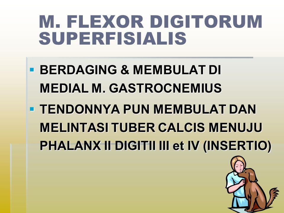 M.FLEXOR DIGITORUM SUPERFISIALIS  BERDAGING & MEMBULAT DI MEDIAL M.