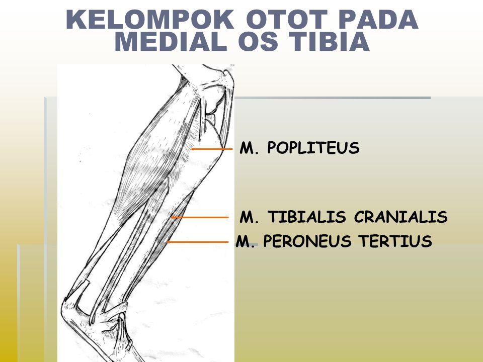 KELOMPOK OTOT PADA MEDIAL OS TIBIA M. POPLITEUS M. TIBIALIS CRANIALIS M. PERONEUS TERTIUS