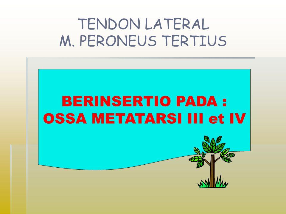 TENDON LATERAL M. PERONEUS TERTIUS BERINSERTIO PADA : OSSA METATARSI III et IV