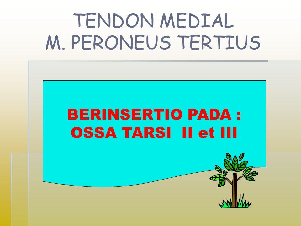 TENDON MEDIAL M. PERONEUS TERTIUS BERINSERTIO PADA : OSSA TARSI II et III