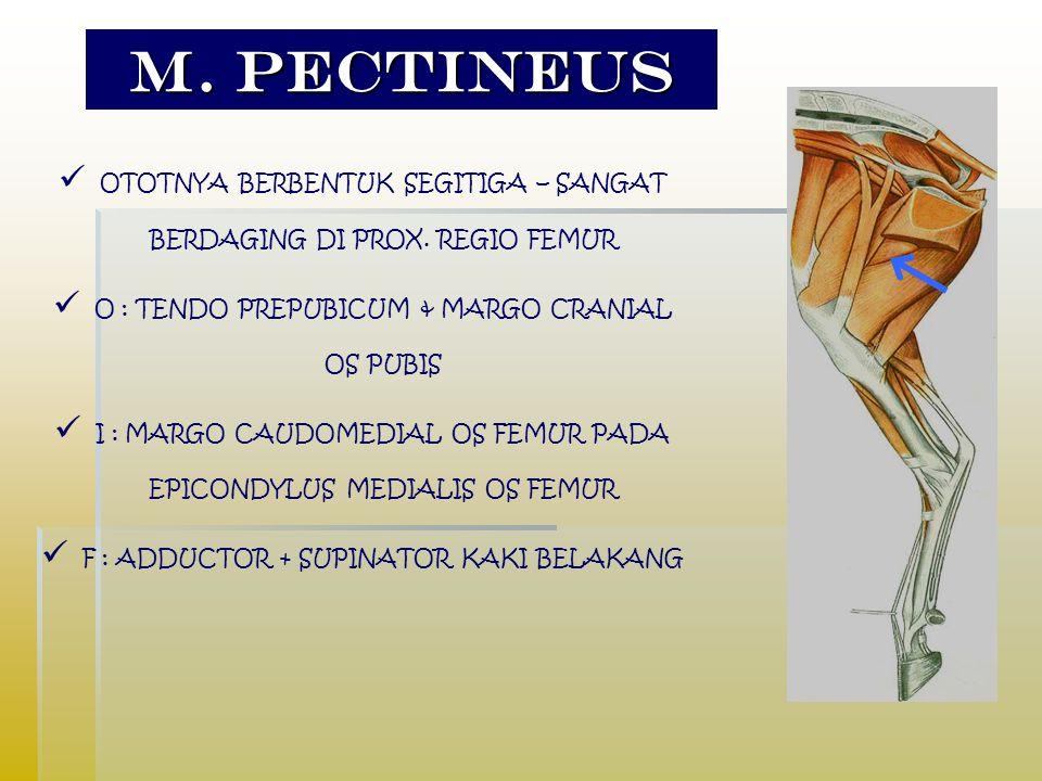 M.pectineus OTOTNYA BERBENTUK SEGITIGA – SANGAT BERDAGING DI PROX.