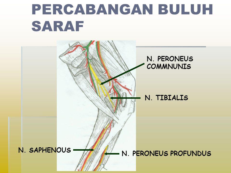 PERCABANGAN BULUH SARAF N. PERONEUS COMMNUNIS N. TIBIALIS N. PERONEUS PROFUNDUS N. SAPHENOUS