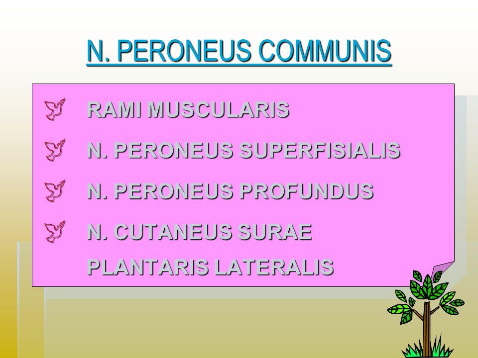 N.PERONEUS COMMUNIS N. PERONEUS COMMUNIS  RAMI MUSCULARIS  N.