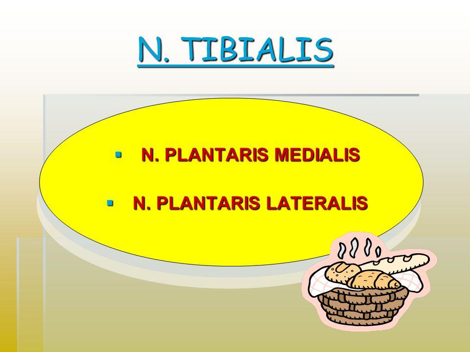 N. TIBIALIS N. TIBIALIS  N. PLANTARIS MEDIALIS  N. PLANTARIS LATERALIS