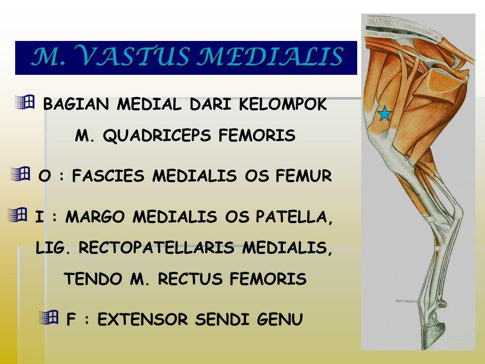 M.VASTUS MEDIALIS  BAGIAN MEDIAL DARI KELOMPOK M.
