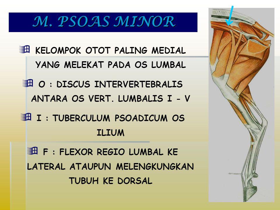 M. PSOAS MINOR  KELOMPOK OTOT PALING MEDIAL YANG MELEKAT PADA OS LUMBAL  O : DISCUS INTERVERTEBRALIS ANTARA OS VERT. LUMBALIS I - V  I : TUBERCULUM