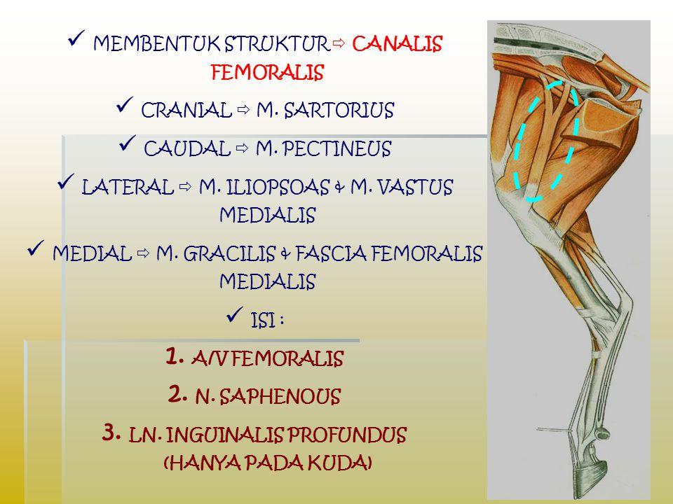 Lokasi canalis femoralis cukup di superfisial sehingga pada hewan kecil digunakan untuk mendeteksi pulsus demi kepentingan klinis