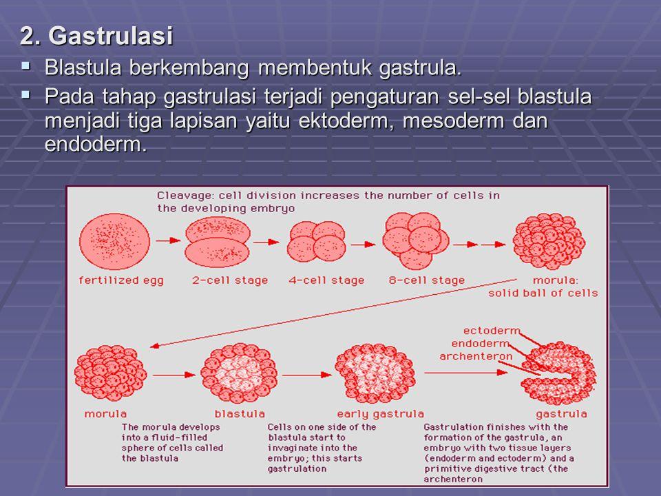 2. Gastrulasi  Blastula berkembang membentuk gastrula.  Pada tahap gastrulasi terjadi pengaturan sel-sel blastula menjadi tiga lapisan yaitu ektoder