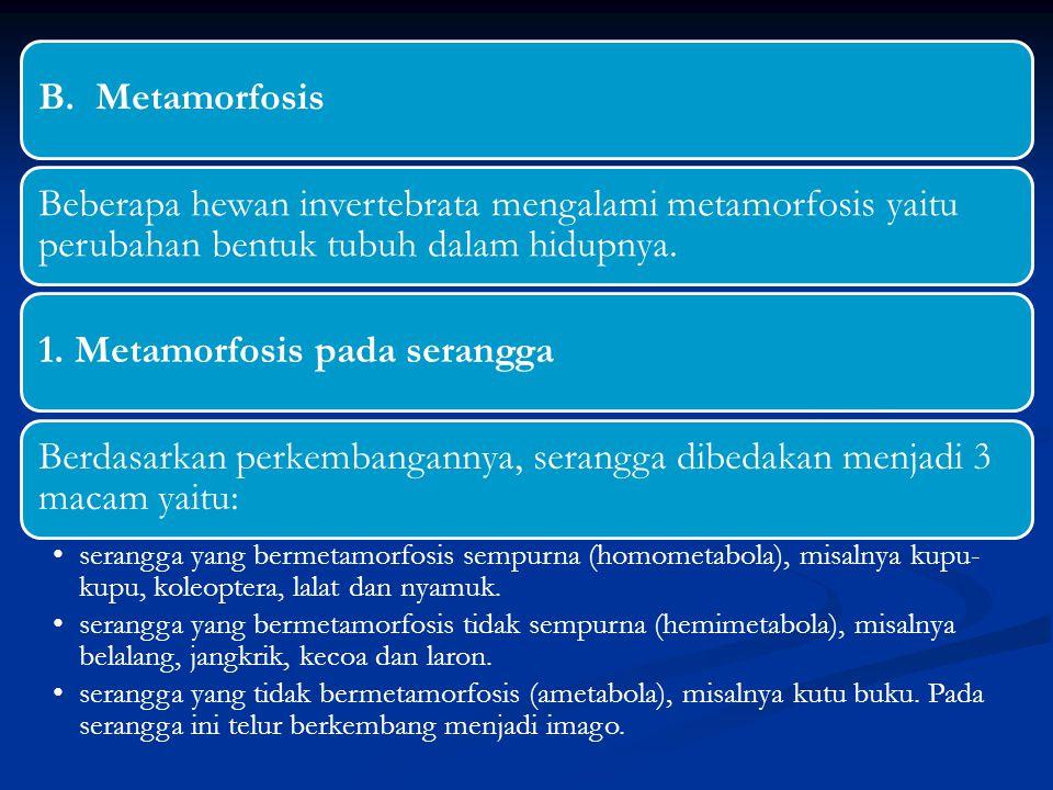 B. Metamorfosis Beberapa hewan invertebrata mengalami metamorfosis yaitu perubahan bentuk tubuh dalam hidupnya. 1. Metamorfosis pada serangga Berdasar