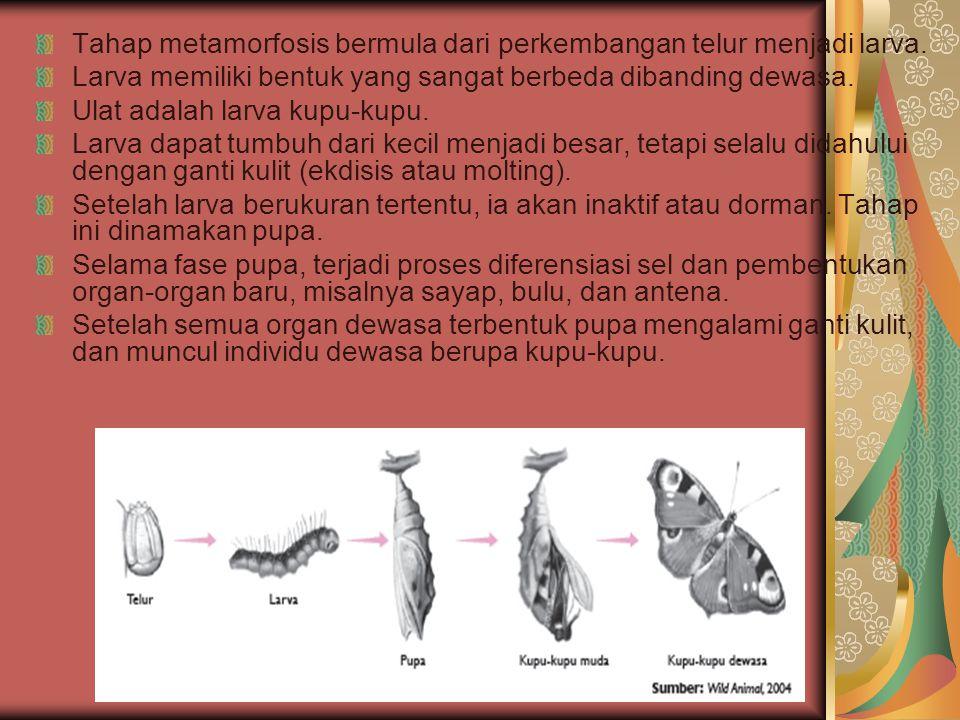 Tahap metamorfosis bermula dari perkembangan telur menjadi larva. Larva memiliki bentuk yang sangat berbeda dibanding dewasa. Ulat adalah larva kupu-k