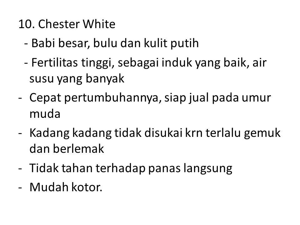 10. Chester White - Babi besar, bulu dan kulit putih - Fertilitas tinggi, sebagai induk yang baik, air susu yang banyak -Cepat pertumbuhannya, siap ju