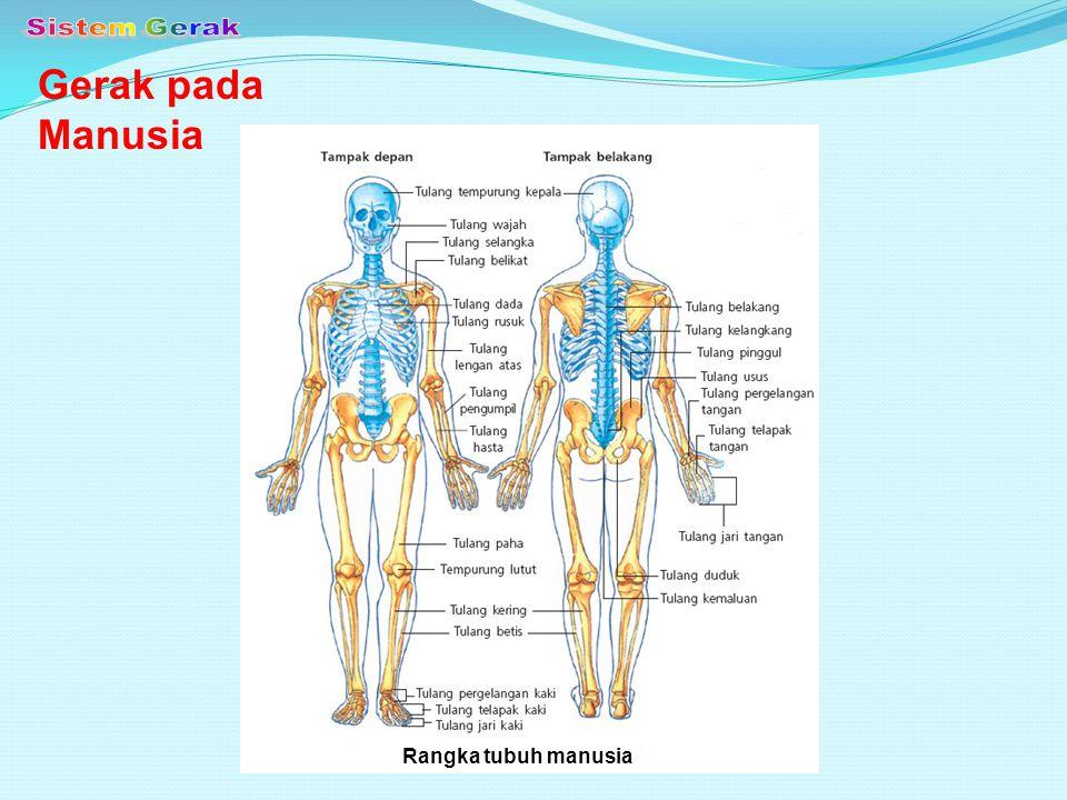 Tulang anggota gerak bawah Tulang anggota gerak atas Tulang lengan atas Tulang pengumpil Tulang hasta Tulang pergelangan tangan Tulang telapak tangan Tulang jari tangan Tulang paha Tulang tempurung lutut Tulang betis Tulang kering Tulang pergelangan kaki Tulang telapak kaki Tulang jari kaki