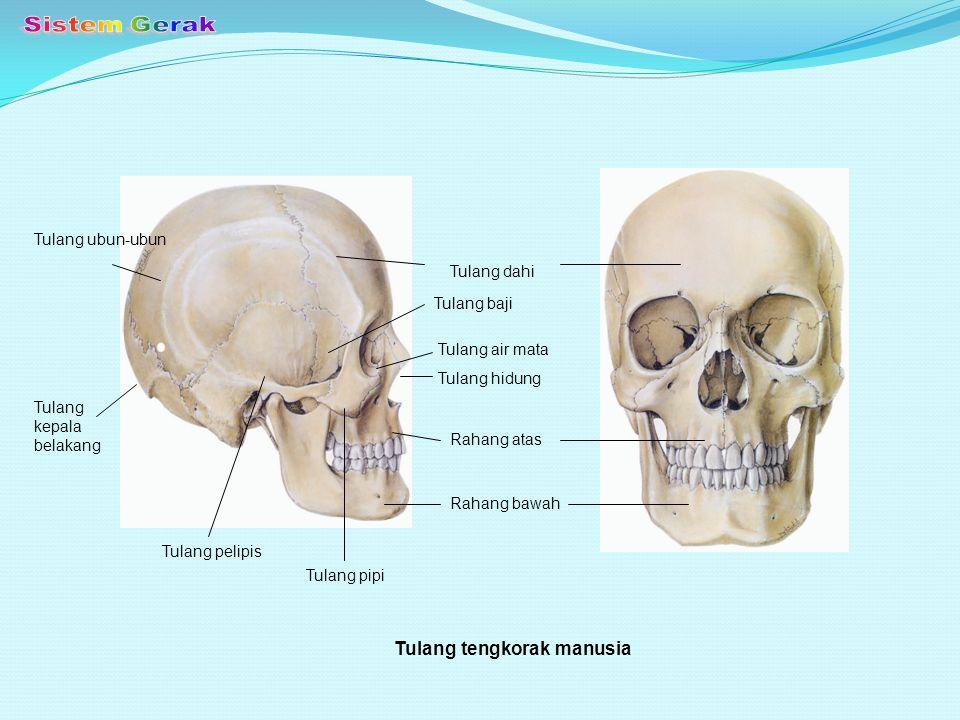 TULANG BADAN 1.Tulang Belakang - Membentuk sumbu tubuh.