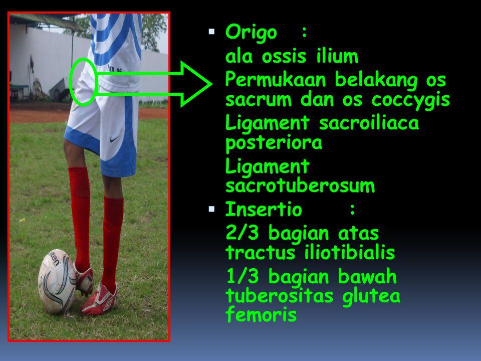  Origo: ala ossis ilium Permukaan belakang os sacrum dan os coccygis Ligament sacroiliaca posteriora Ligament sacrotuberosum  Insertio: 2/3 bagian a