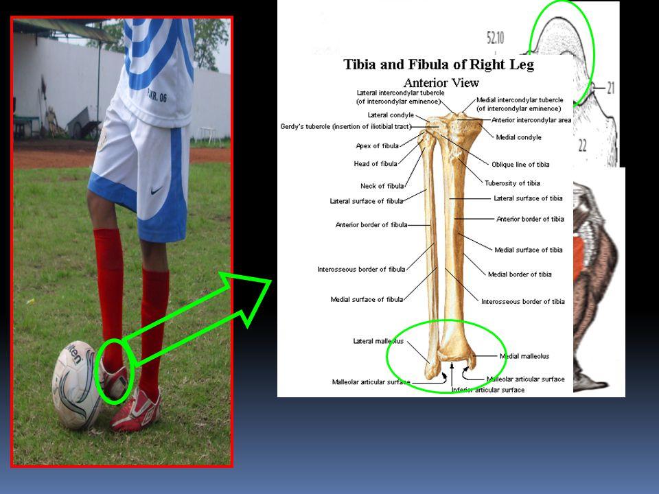 Pada Articulatio Talocruralis terjadi gerakan Fleksi Bidang gerak: Sagital Axis / Sumbu: Transversal/Frontal Tulang: Talus, Tibia, Fibula Otot yang Be
