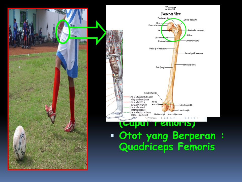  Pada Articulatio Coxae terjadi gerakan Supinasi  Bidang gerak: Transversal  Axis / Sumbu: Longitudinal / Vertikal  Tulang: Femur (Caput Femoris)