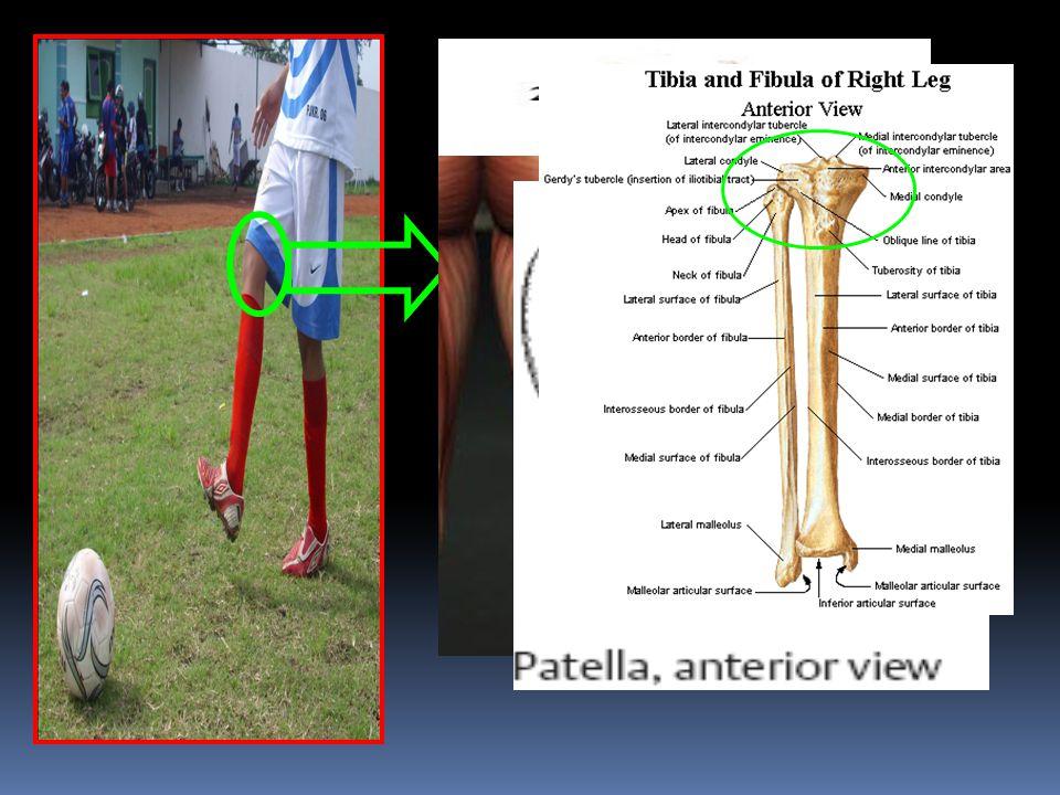 Pada Articulatio Genu terjadi gerakan Fleksi Bidang gerak: Sagital Axis / Sumbu: Transversal/Frontal Tulang : Patella, Tibia, Fibula Otot yang Berpera