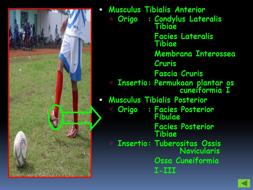  Musculus Tibialis Anterior  Origo: Condylus Lateralis Tibiae Facies Lateralis Tibiae Membrana Interossea Cruris Fascia Cruris  Insertio: Permukaan