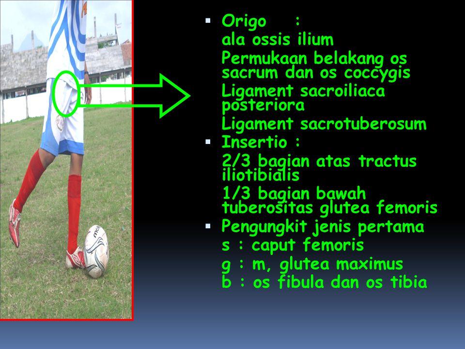  Origo: ala ossis ilium Permukaan belakang os sacrum dan os coccygis Ligament sacroiliaca posteriora Ligament sacrotuberosum  Insertio: 2/3 bagian atas tractus iliotibialis 1/3 bagian bawah tuberositas glutea femoris