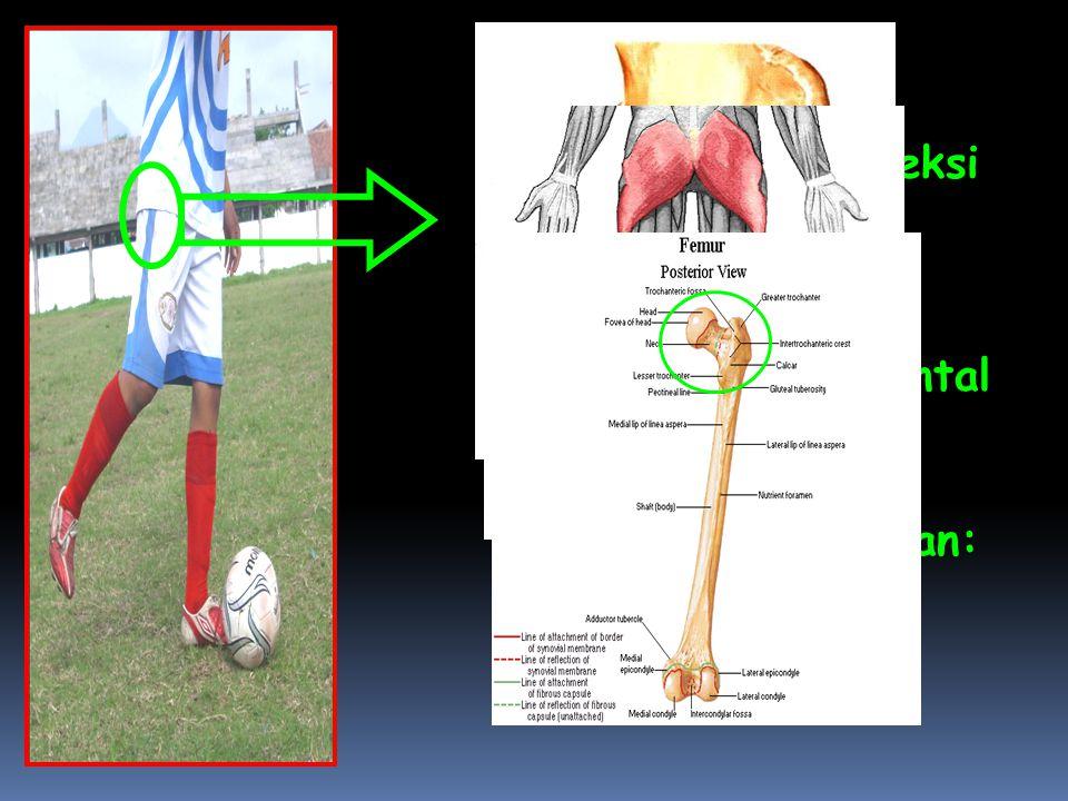 Pada Articulatio Genu terjadi gerakan Fleksi  Bidang gerak: Sagital  Axis / Sumbu: Transversal/Frontal  Tulang : Patella,Tibia,Fibula  Otot yang Berperan: Biceps Femoris, Semitendinosus, dan Semimembranosus