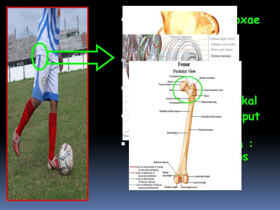  Pada Articulatio Coxae terjadi gerakan Supinasi  Bidang gerak : Transversal  Axis / Sumbu: Longitudinal / Vertikal  Tulang: Femur (Caput Femoris)