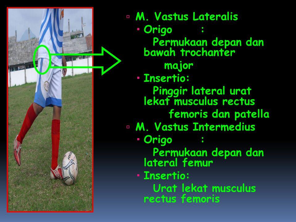  M. Vastus Lateralis  Origo: Permukaan depan dan bawah trochanter major  Insertio: Pinggir lateral urat lekat musculus rectus femoris dan patella 