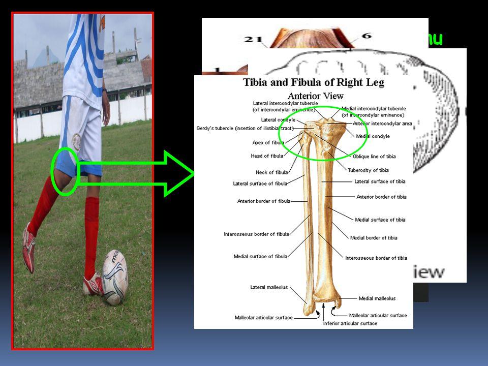  Pada articulatio Genu terjadi gerakan Retro Fleksi  Bidang gerak: Sagital  Axis / Sumbu: Transversal/Frontal  Tulang : Patella, Tibia, Fibula  O