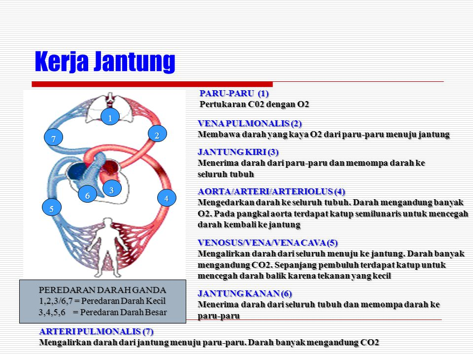 Kerja Jantung PARU-PARU (1) Pertukaran C02 dengan O2 VENA PULMONALIS (2) Membawa darah yang kaya O2 dari paru-paru menuju jantung JANTUNG KIRI (3) Menerima darah dari paru-paru dan memompa darah ke seluruh tubuh AORTA/ARTERI/ARTERIOLUS (4) Mengedarkan darah ke seluruh tubuh.