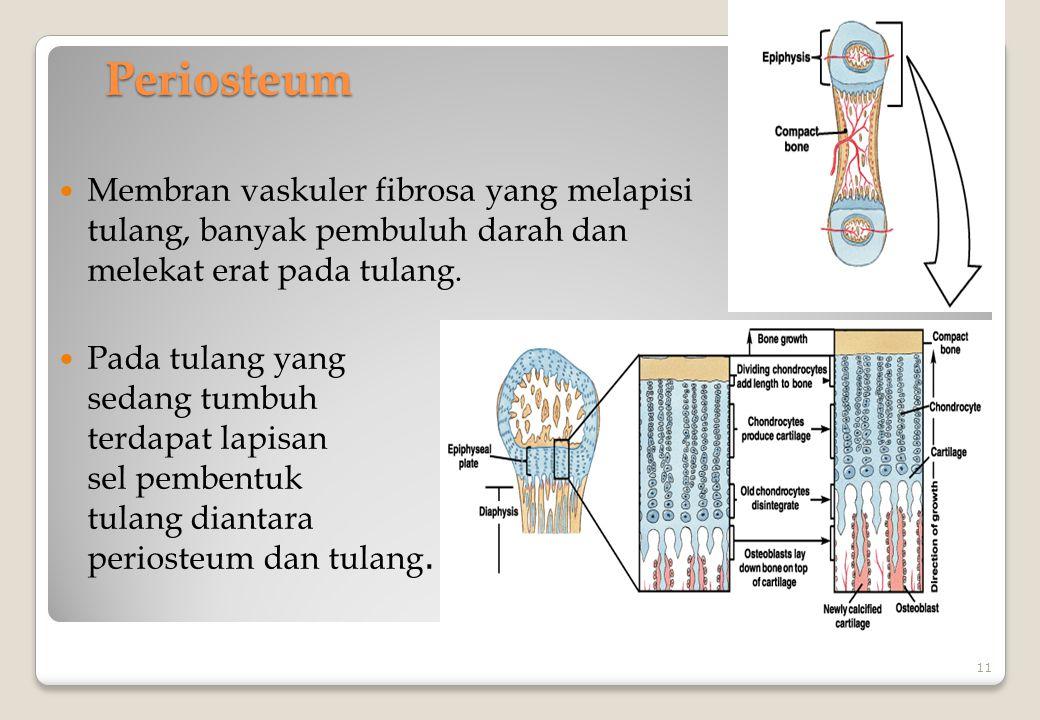 Periosteum Membran vaskuler fibrosa yang melapisi tulang, banyak pembuluh darah dan melekat erat pada tulang. Pada tulang yang sedang tumbuh terdapat