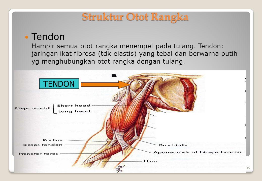 Struktur Otot Rangka Tendon Hampir semua otot rangka menempel pada tulang. Tendon: jaringan ikat fibrosa (tdk elastis) yang tebal dan berwarna putih y