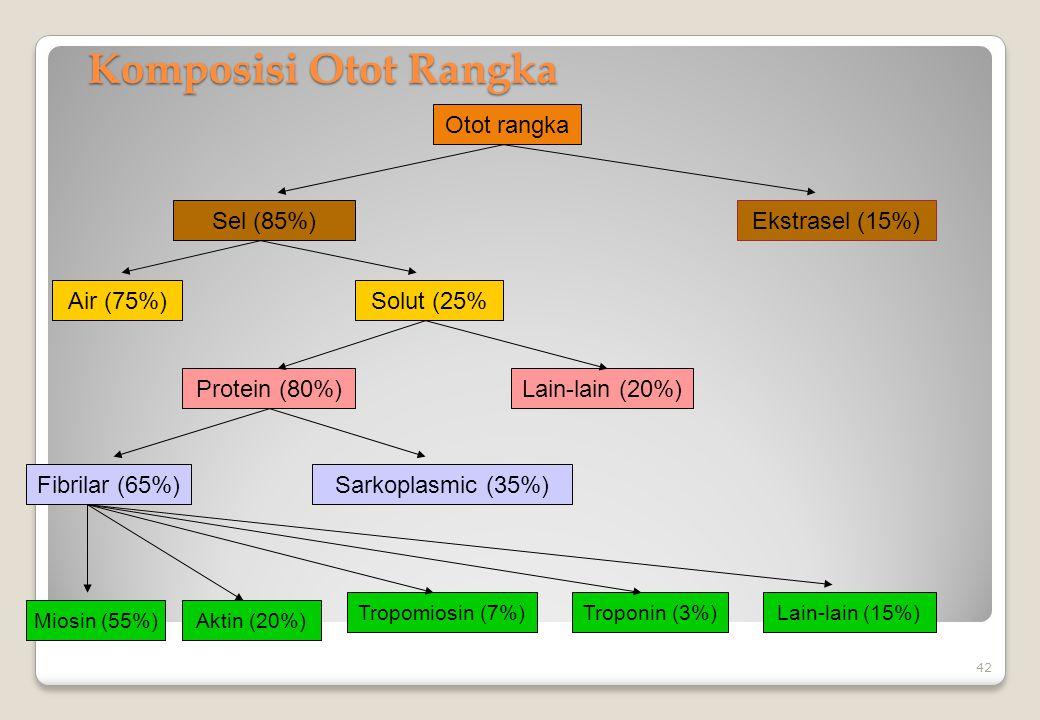 Komposisi Otot Rangka 42 Otot rangka Sel (85%)Ekstrasel (15%) Air (75%)Solut (25% Protein (80%)Lain-lain (20%) Fibrilar (65%)Sarkoplasmic (35%) Miosin
