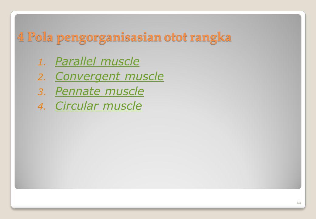 4 Pola pengorganisasian otot rangka 1. Parallel muscle Parallel muscle 2. Convergent muscle Convergent muscle 3. Pennate muscle Pennate muscle 4. Circ