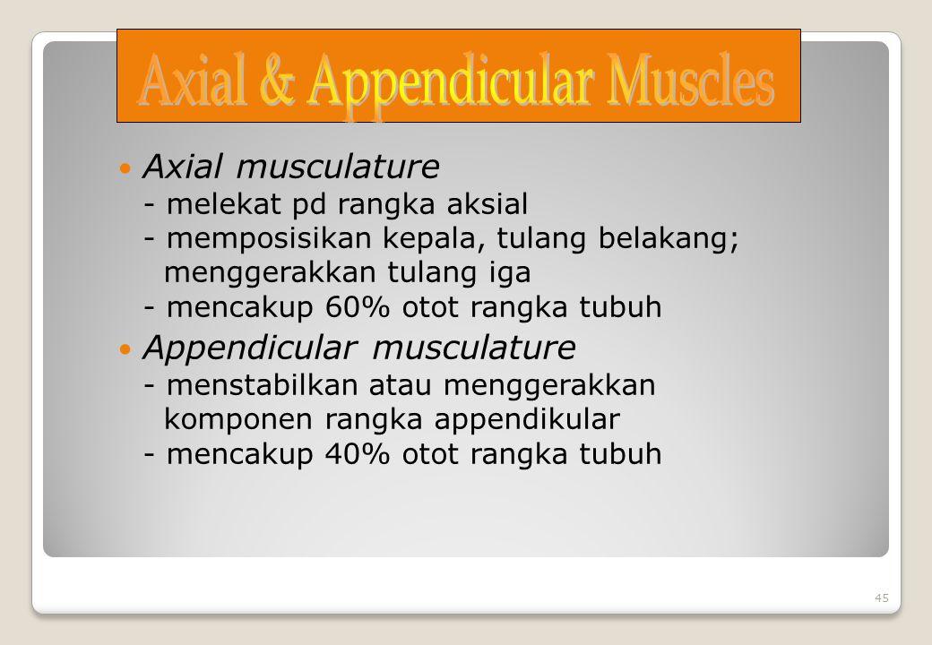 Axial musculature - melekat pd rangka aksial - memposisikan kepala, tulang belakang; menggerakkan tulang iga - mencakup 60% otot rangka tubuh Appendic