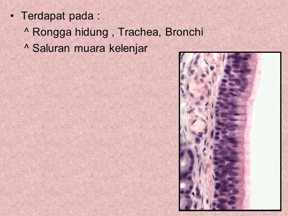 Terdapat pada : ^ Rongga hidung, Trachea, Bronchi ^ Saluran muara kelenjar