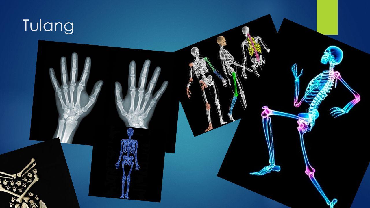  Tulang adalah salah satu organ yang berperan dalam sistem gerak pada manusia  Rangka atau tulang pada tubuh manusia termasuk salah satu alat gerak pasif karena tulang baru akan bergerak bila digerakkan oleh otot.