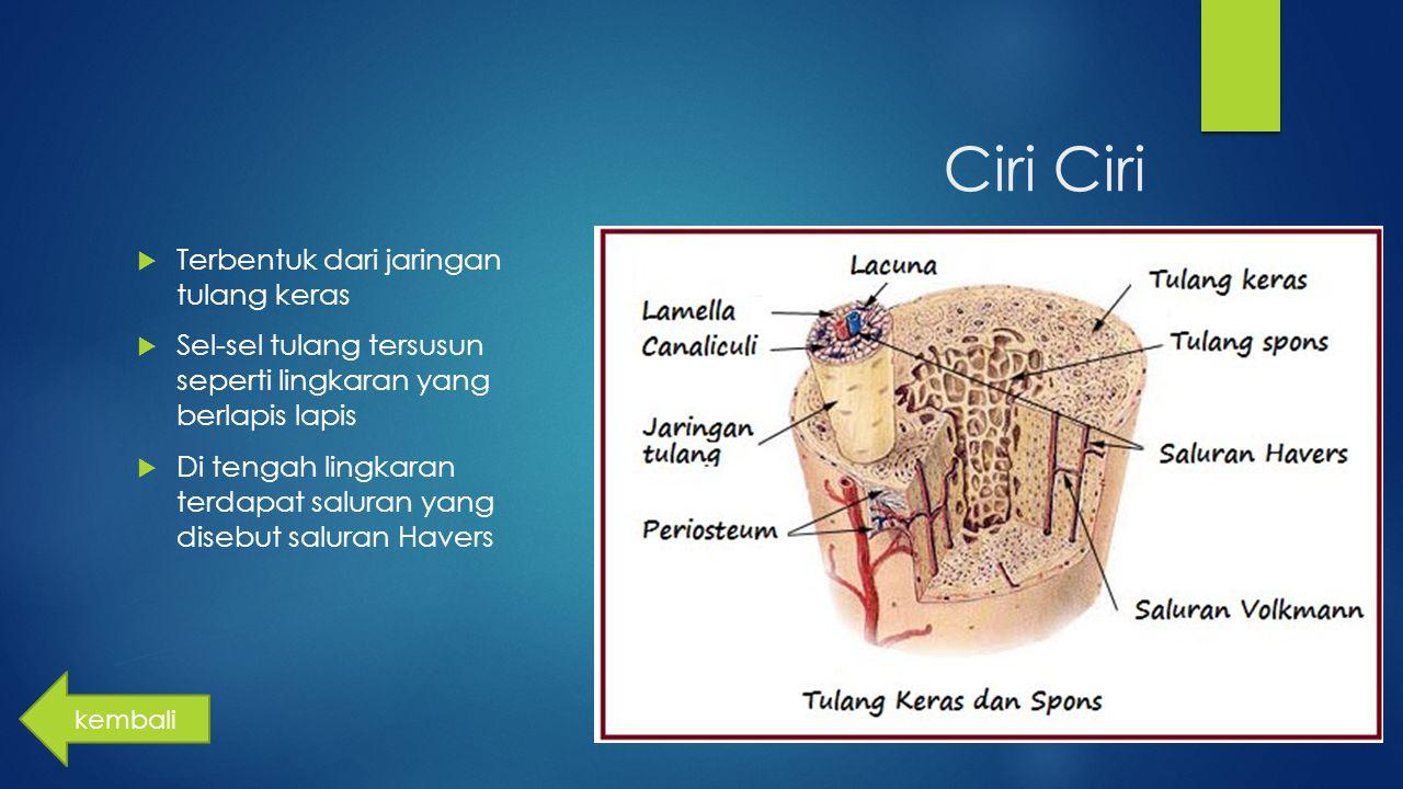 Ciri  Terbentuk dari jaringan tulang keras  Sel-sel tulang tersusun seperti lingkaran yang berlapis lapis  Di tengah lingkaran terdapat saluran yan