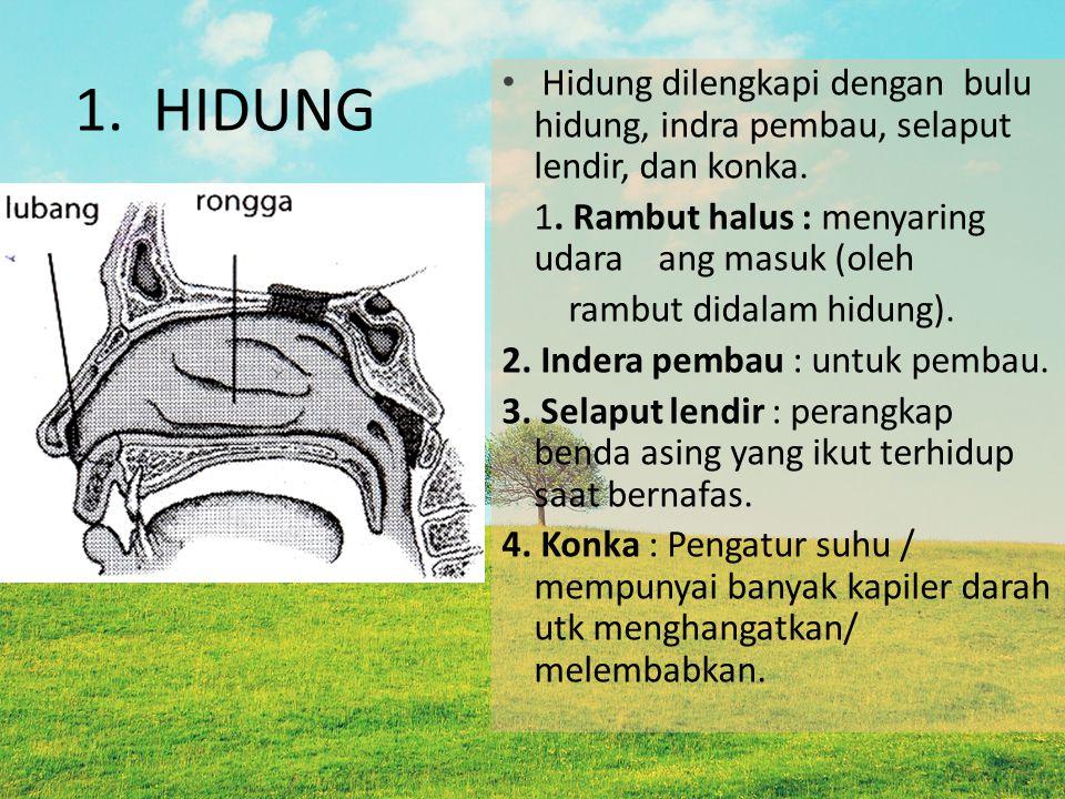 1. HIDUNG Hidung dilengkapi dengan bulu hidung, indra pembau, selaput lendir, dan konka. 1. Rambut halus : menyaring udara ang masuk (oleh rambut dida