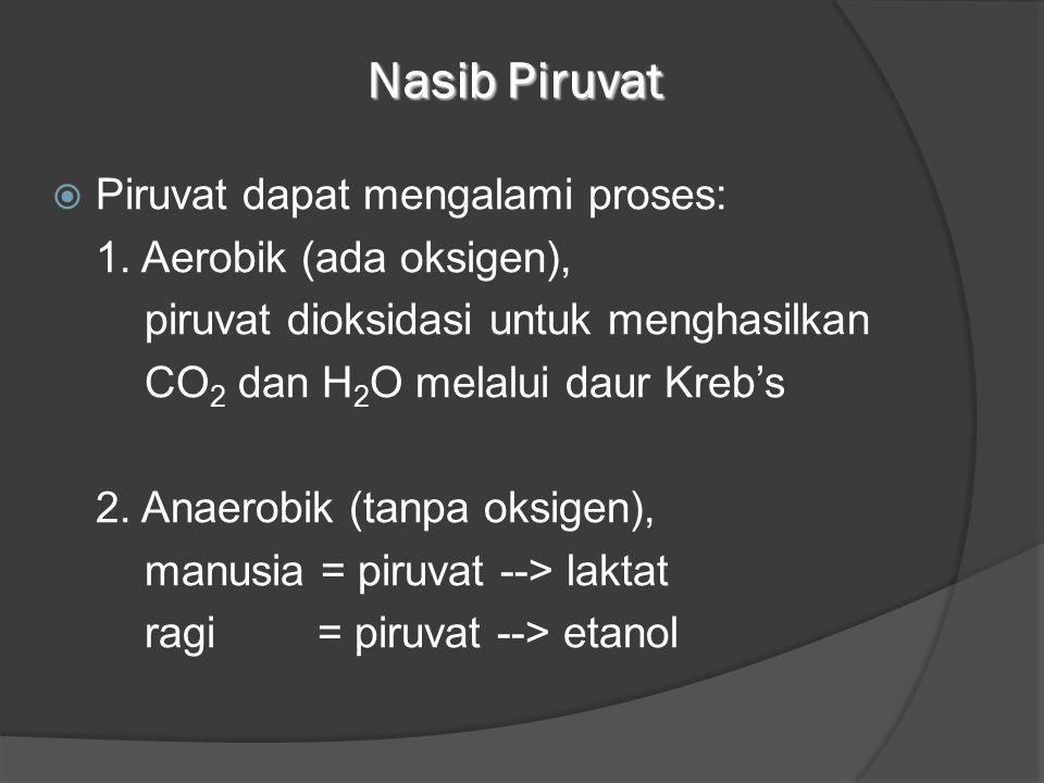 Nasib Piruvat  Piruvat dapat mengalami proses: 1. Aerobik (ada oksigen), piruvat dioksidasi untuk menghasilkan CO 2 dan H 2 O melalui daur Kreb's 2.