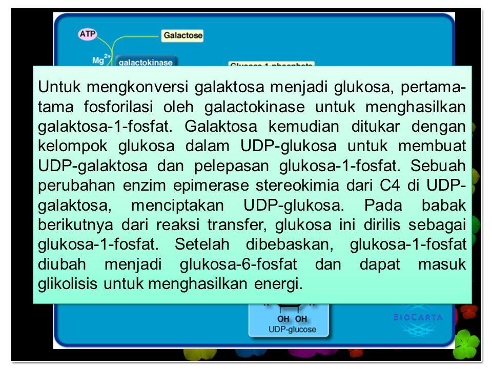Untuk mengkonversi galaktosa menjadi glukosa, pertama- tama fosforilasi oleh galactokinase untuk menghasilkan galaktosa-1-fosfat. Galaktosa kemudian d