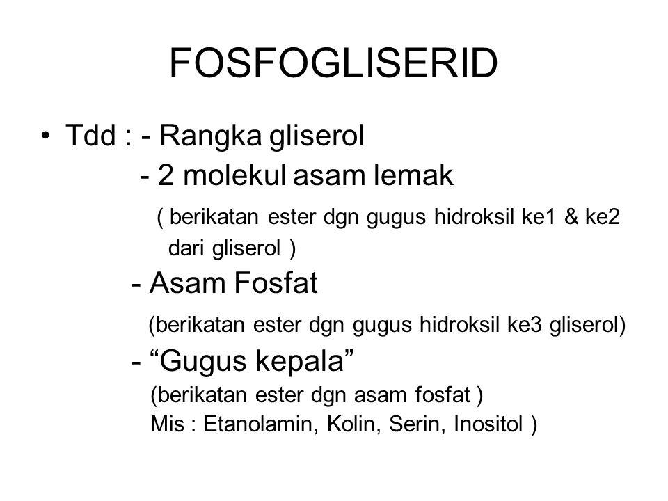 FOSFOGLISERID Tdd : - Rangka gliserol - 2 molekul asam lemak ( berikatan ester dgn gugus hidroksil ke1 & ke2 dari gliserol ) - Asam Fosfat (berikatan