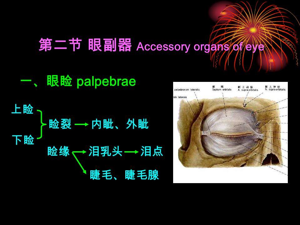 第二节 眼副器 Accessory organs of eye 一、眼睑 palpebrae 上睑 下睑 睑裂内眦、外眦 睑缘泪乳头泪点 睫毛、睫毛腺